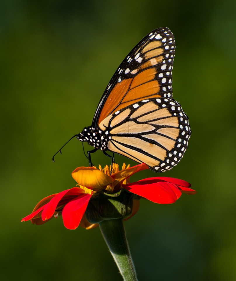 Monarch - Ron Lagerquist - MNPV