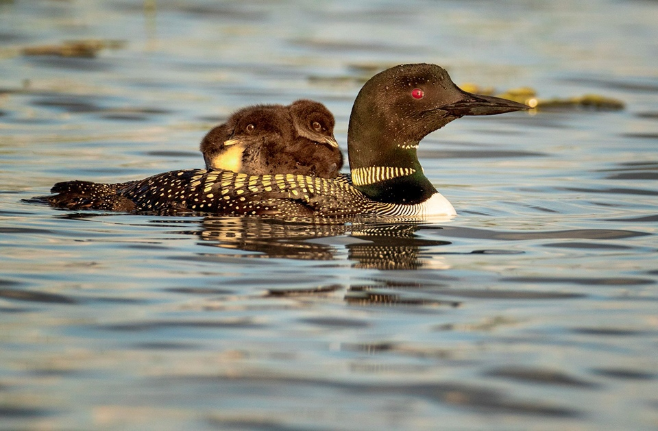 Mother Loon with Chicks - Paul Kammen - MNPC