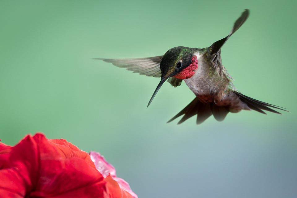Ruby-Throat Hummingbird - Betty Bryan - WWPC