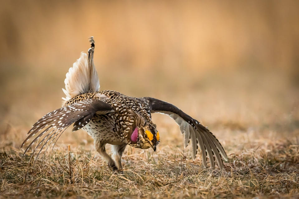 Sharp-tailed Grouse display - Betty Bryan - WWPC