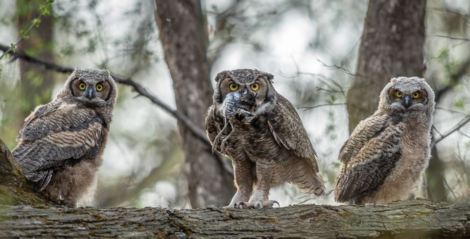Six Great Horned Owl Eyes - Scott Landseidel - MNPC
