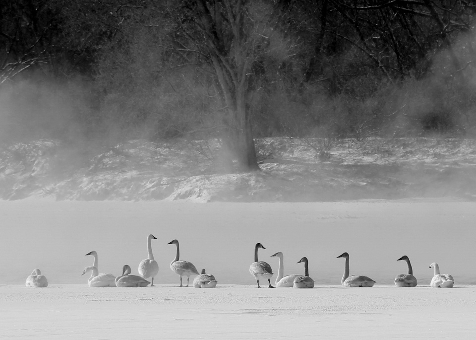 St. Croix swans at 1-5 - Gary Noren - SCVCC