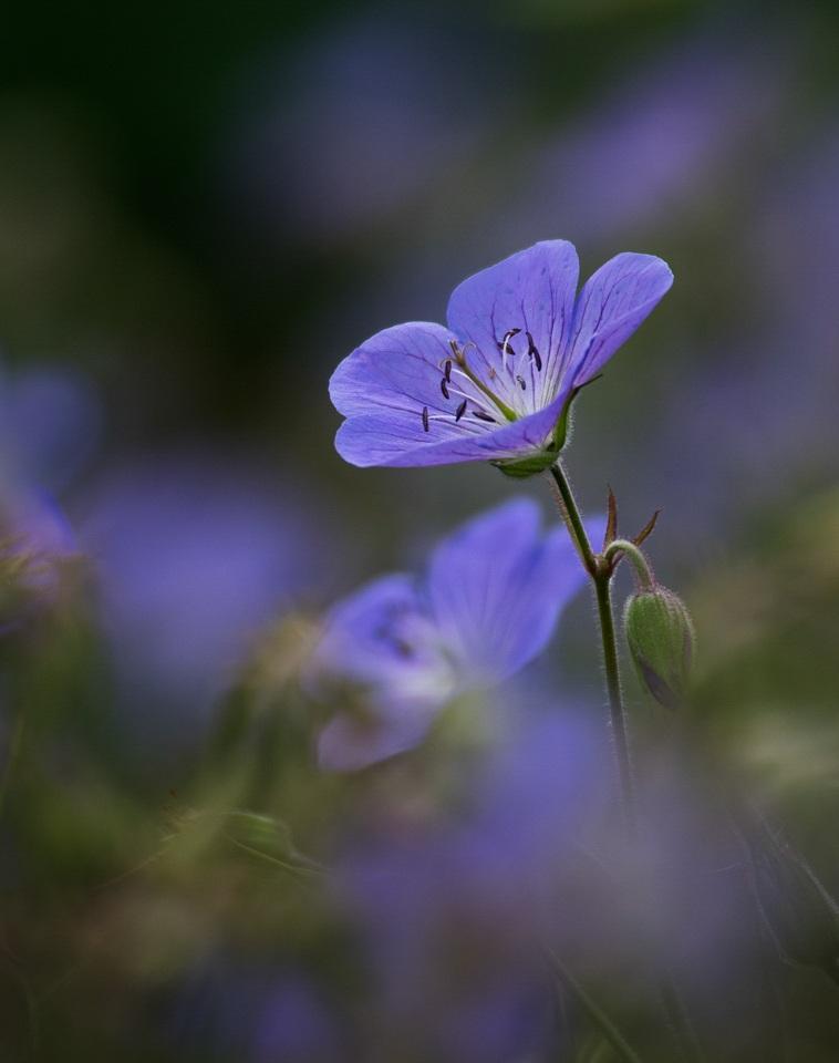 Wild geranium - Deanne Probst - MNPC