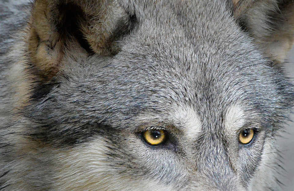 Wolf's eyes - Kathy Wall - NMPC