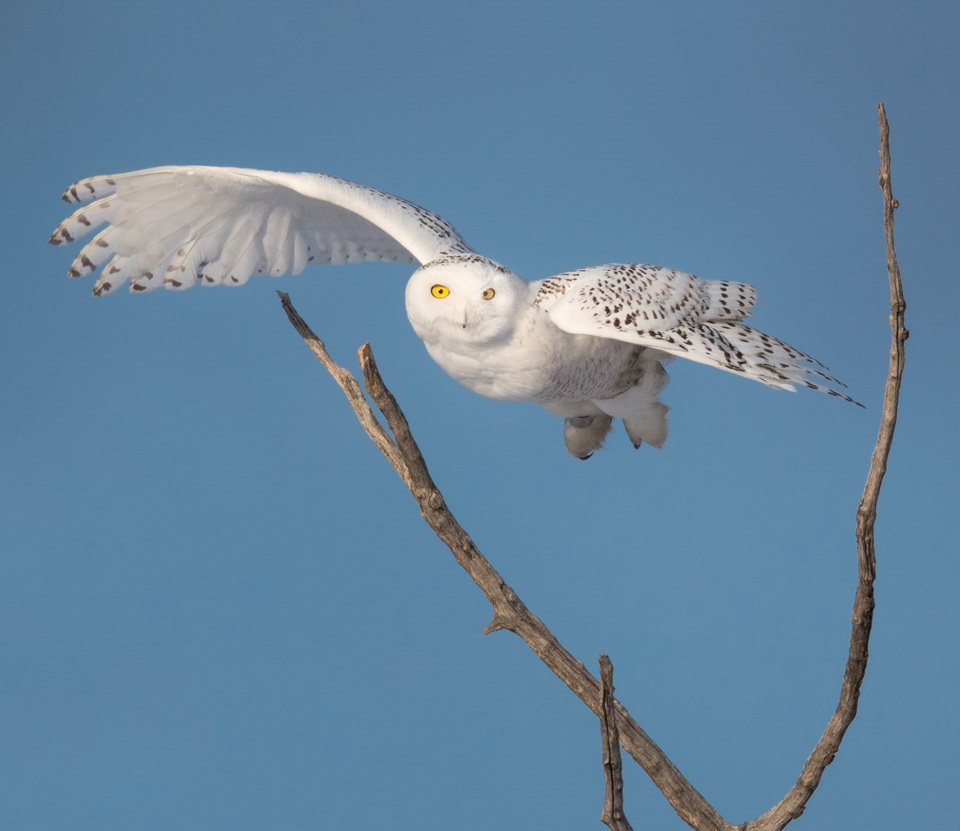 Award - Snowy Owl - Paul Kammen - Minnesota Nature Photography Club