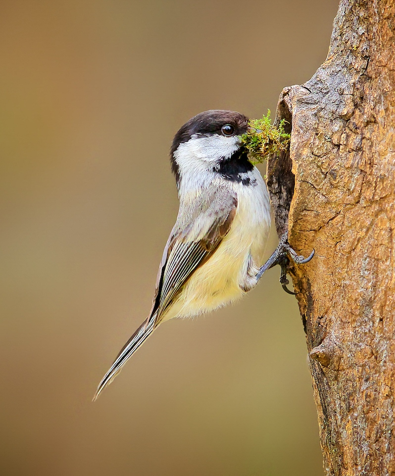 Honorable Mention - Chickadee Nest Building - Don Specht - Minnesota Nature Photography Club