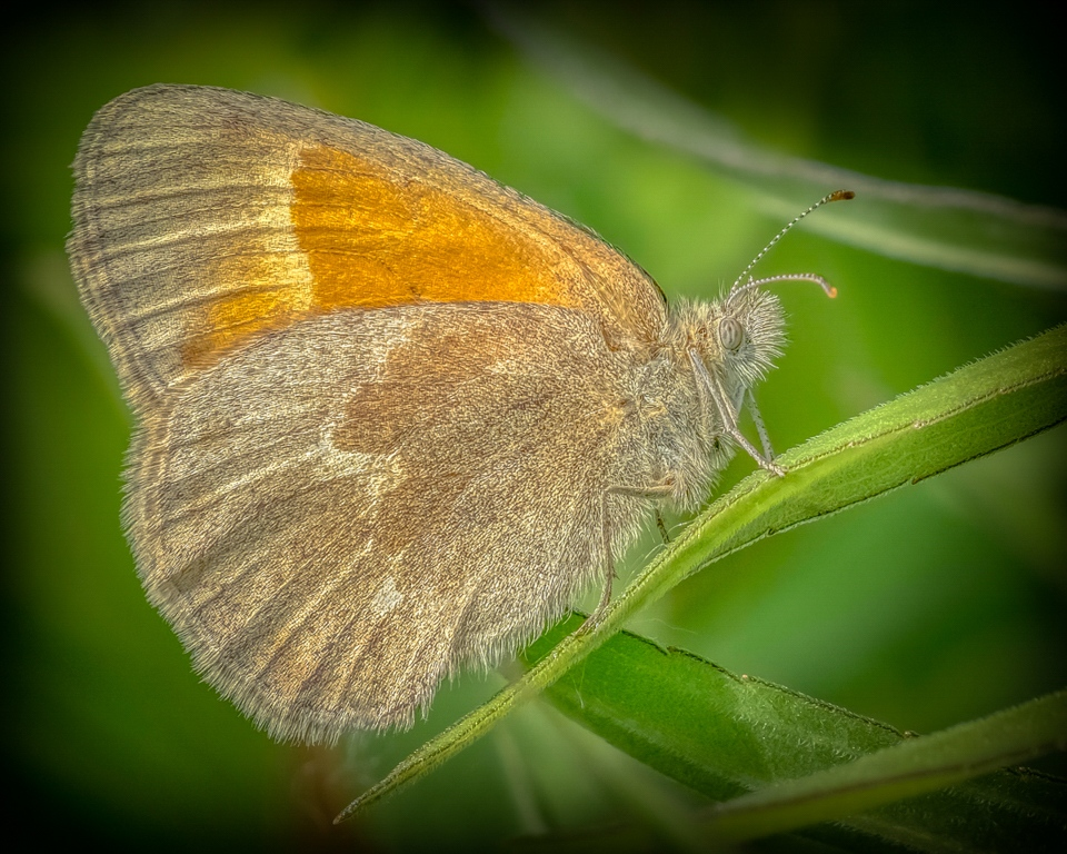Honorable Mention - Common Ringlet butterfly - Marianne Diericks - Western Wisconsin Photography Club