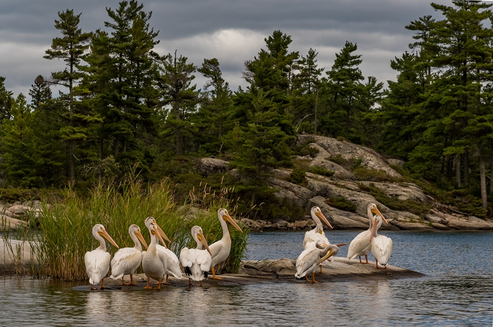 Honorable Mention - Gathering Of Pelicans - Pat Miller - North Metro Photo Club