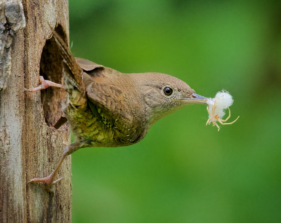 Honorable Mention -House Wren with Spider - Don Specht - Minnesota Nature Photography Club