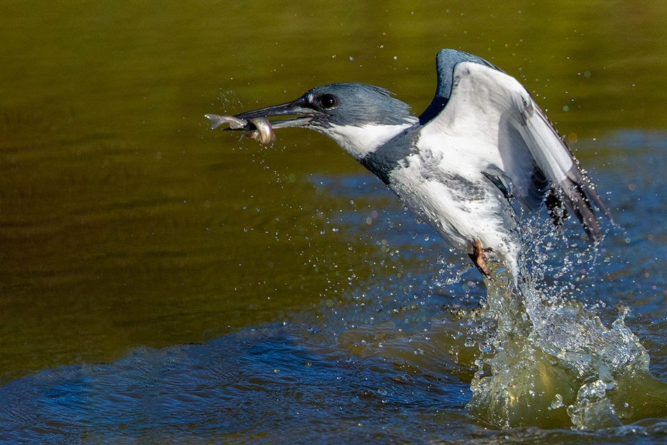 Belted Kingfisher a Fishin - Gary Schafer - WWPC