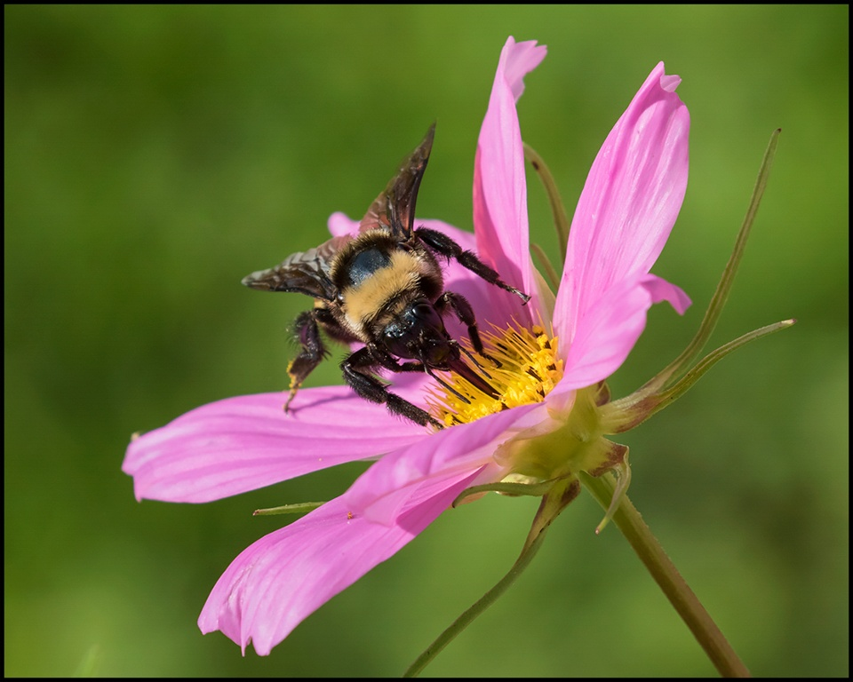 Bumble on Cosmos - Michelle Terrell - SCVCC