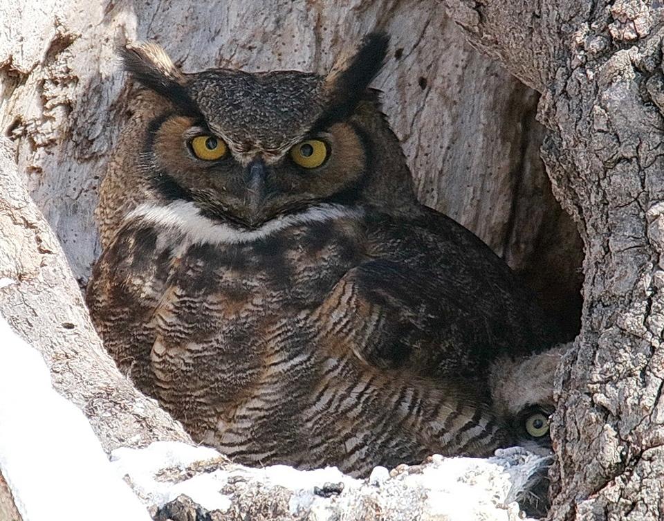 Curious owlet - Chuck Kartak - SCVCC