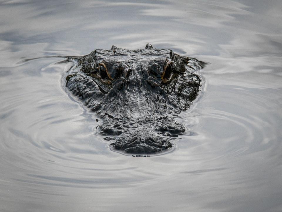 Gator! - Louiis Plevell - FSSPCC