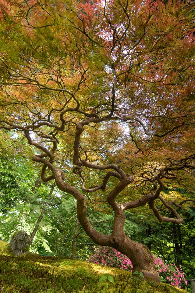 Japanese maple sky - Deanne Probst - MNPC