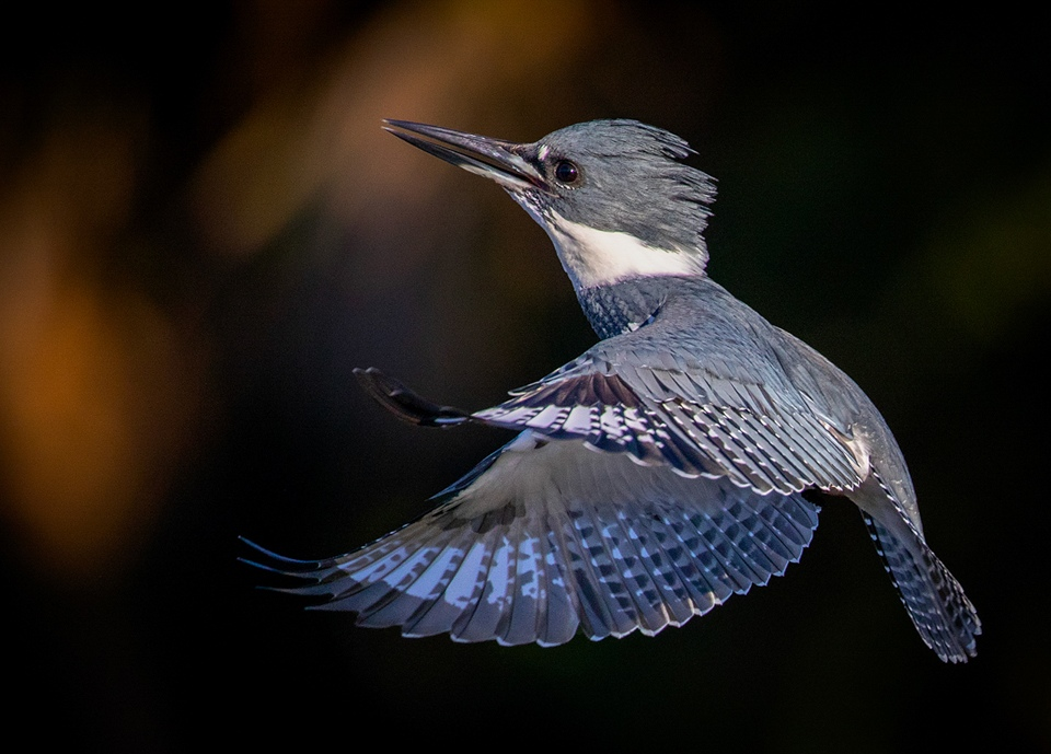 Male Belted Kingfisher - Gary Schafer - WWPC