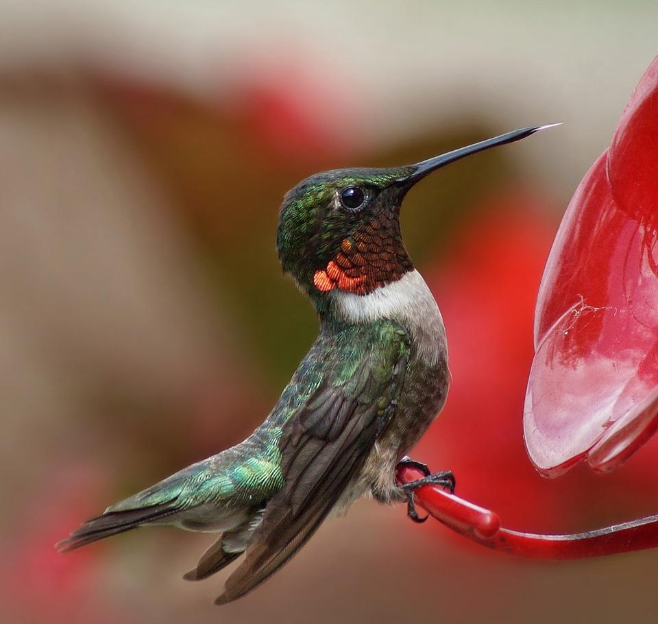 Rare as Hummingbird Tongues - Pat Chiconis - WWPC