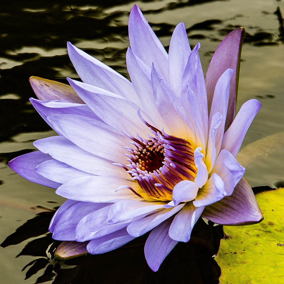 Water Lily - Rich Roberts - MVPC