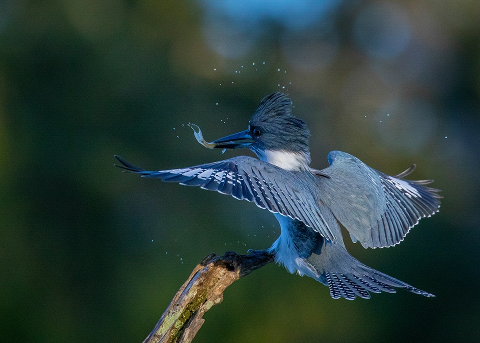 Award - Male Belted Kingfisher With Minnow - Gary Schafer - Western Wisconsin Photography Club