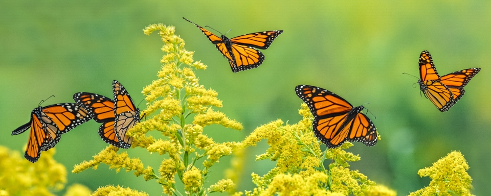 Award - Monarchs In Motion - Marianne Diericks - Western Wisconsin Photography Club