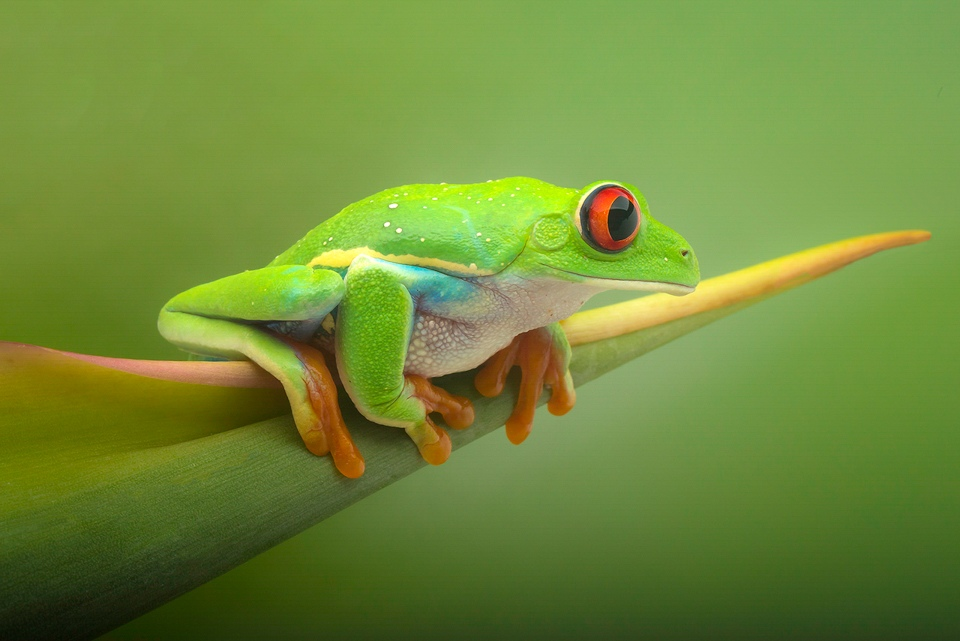 Award - Red-Eyed Frog - Terry Butler - Western Wisonsin Photography Club