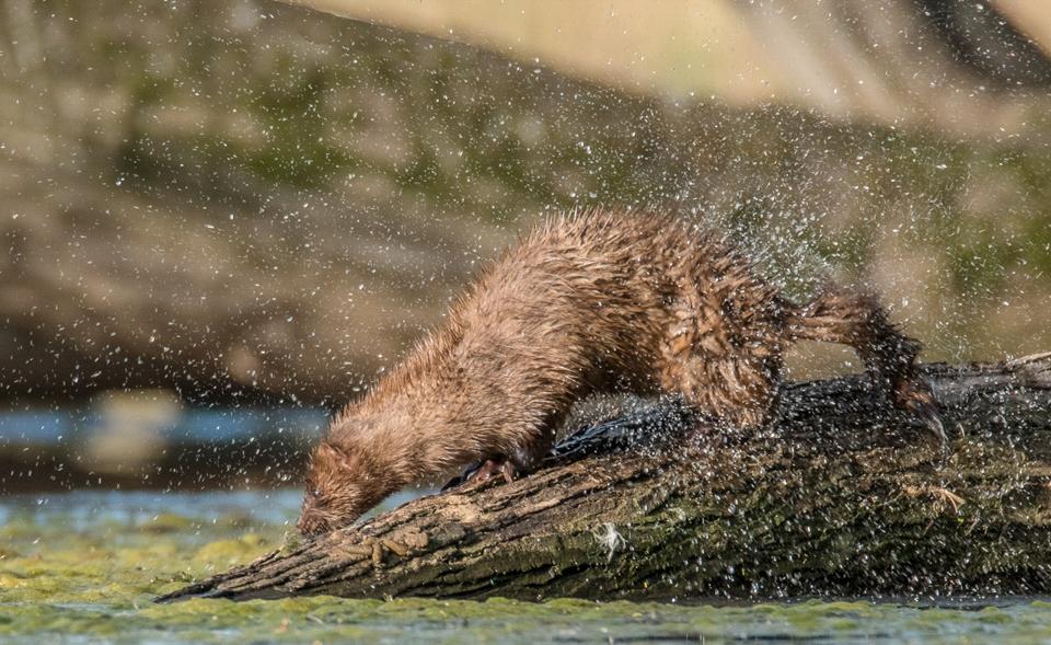 Honorable Mention - Mink Shake - Scott Landseidel - Minnesota Nature Photography Club