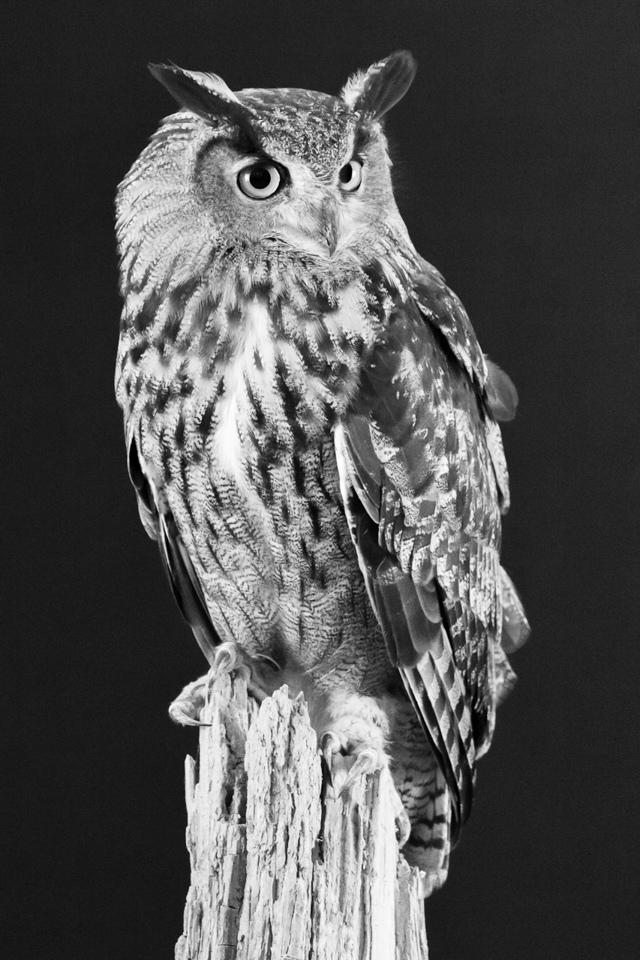 Eurasian Eagle Owl - Melissa Anderson - WWPC