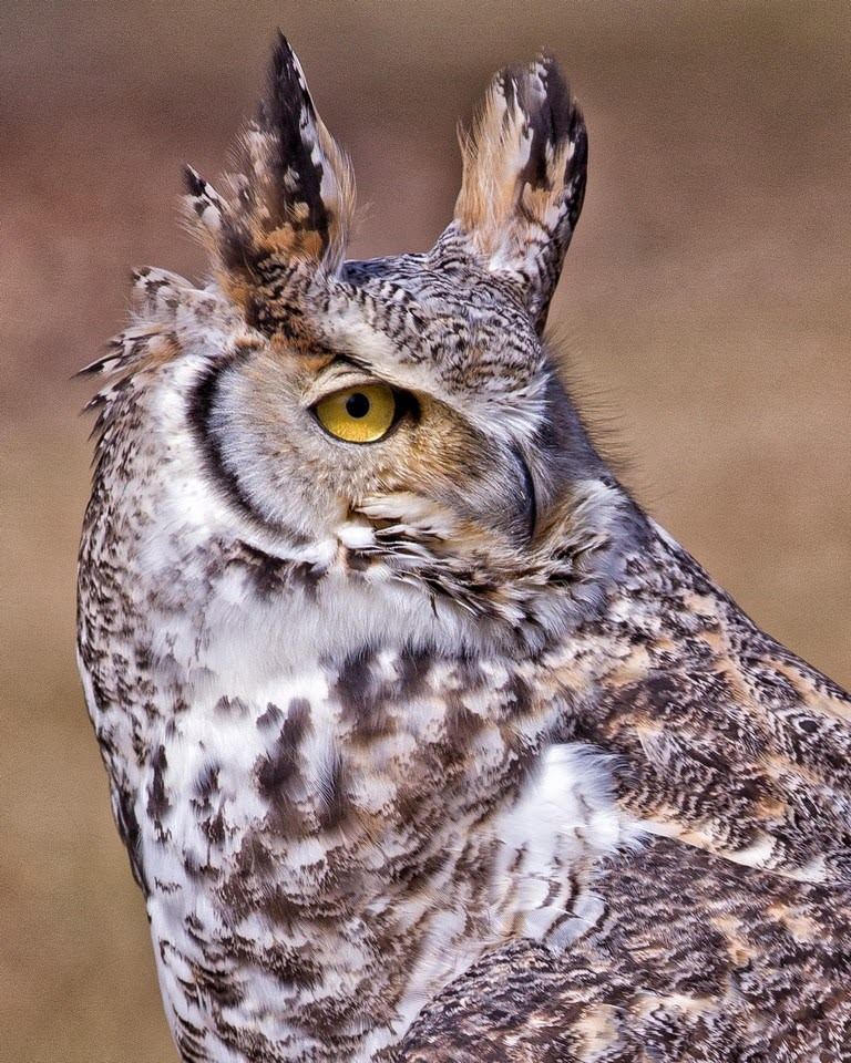 Great Horned Owl - Ronnie Hartman - MPS