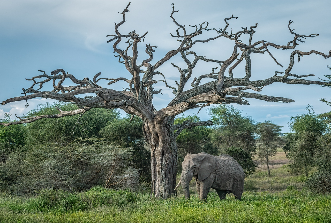 2nd Place Runner Up - One Tusk Under Acacia - Diane Herman - Minnesota Nature Photography Club