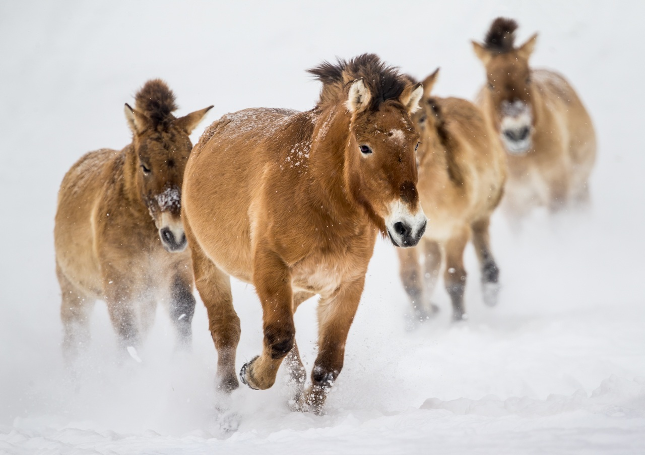 Award - Asian Horses - Ken Epstein - St Paul Camera Clubera-Club