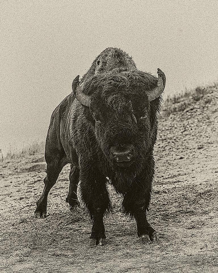 Buffalo Texture - J Arthur Anderson - FSSPCC