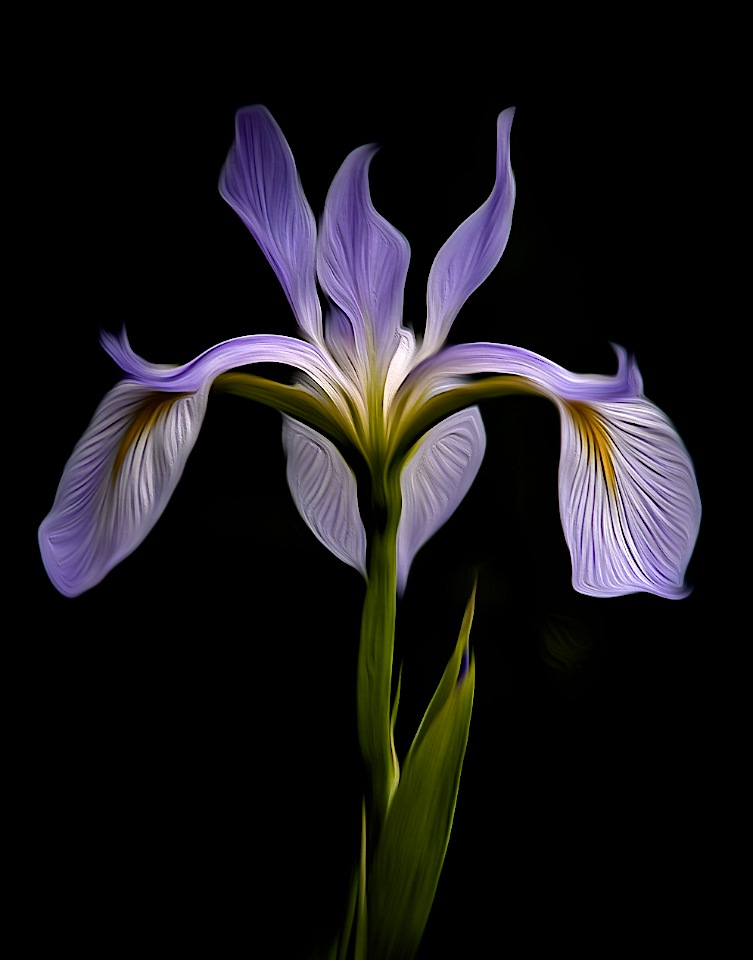 Award - Blue Flag Iris - Painted - Don Specht - Minnesota Nature Photography Club