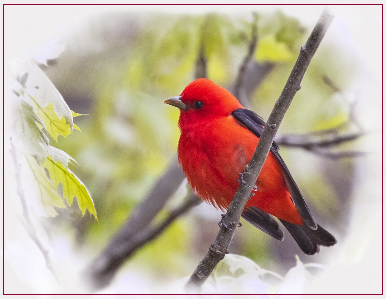 Honorable Mention - Scarlet Tanager - Michelle Terrell - St Croix Valley Camera Club