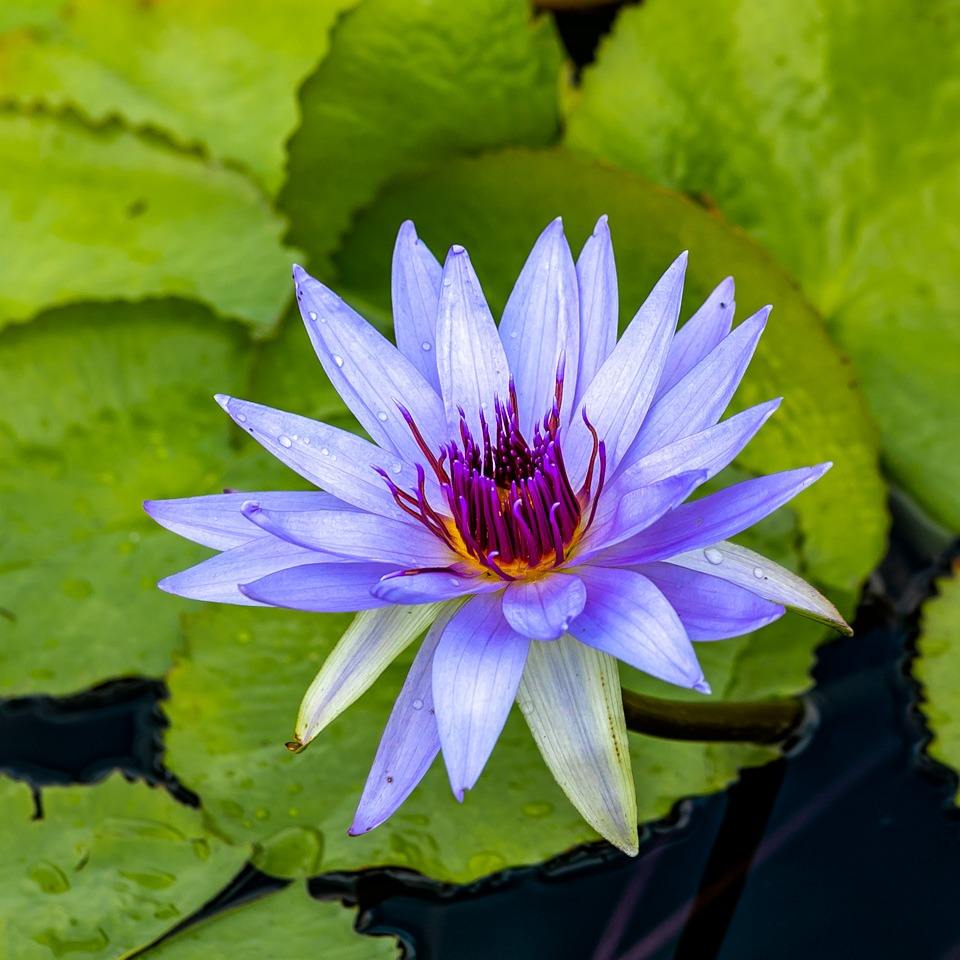 Honorable Mention - Water Lily - Tom Schendel - Northe Metro Camera Club