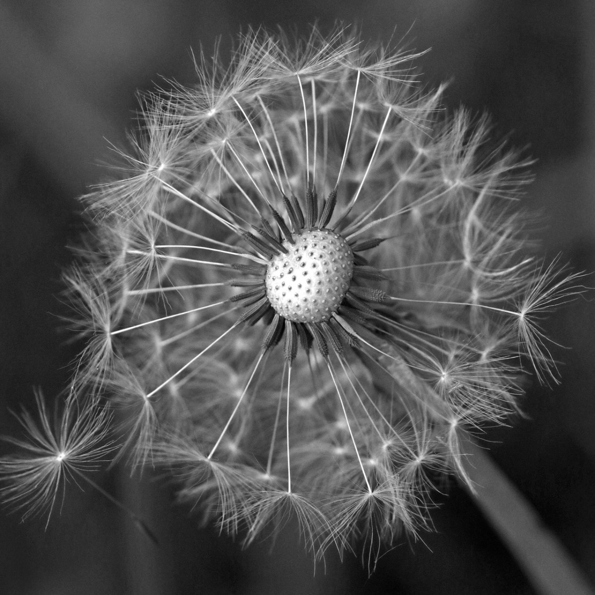Honorable Mention - Fluffy Dandelion - Linda Mueller - Minnetonka Camera Club