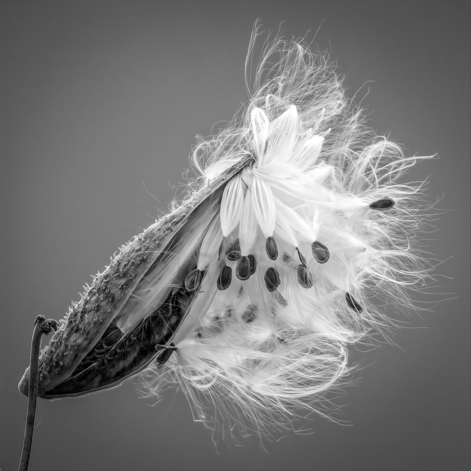 Honorable Mention - Milkweed at Crex - Diane Herman - Minnesota Nature Photgraphy Club