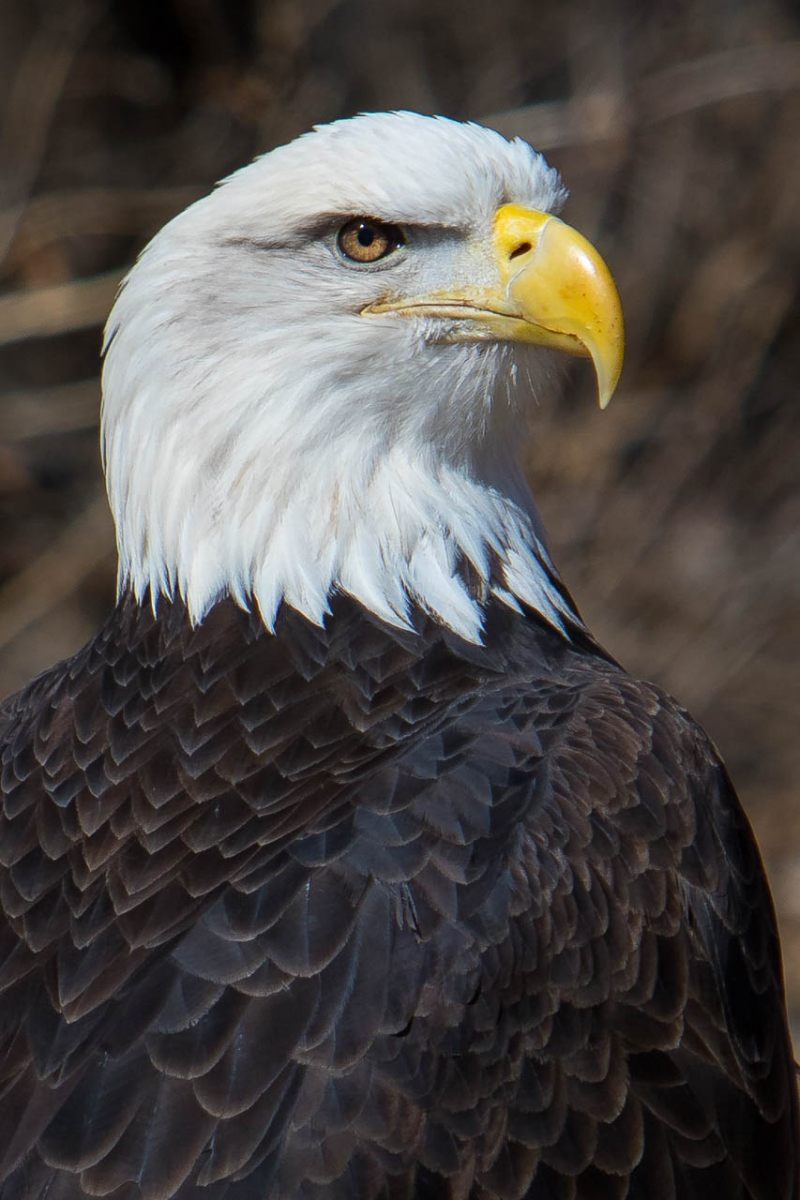 Bald Eagle - Michael Waterman - WWPC