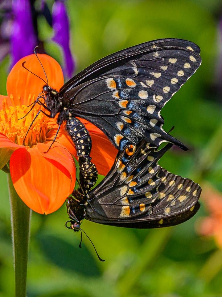Black Swallowtails Mating - David Perez - MVPC