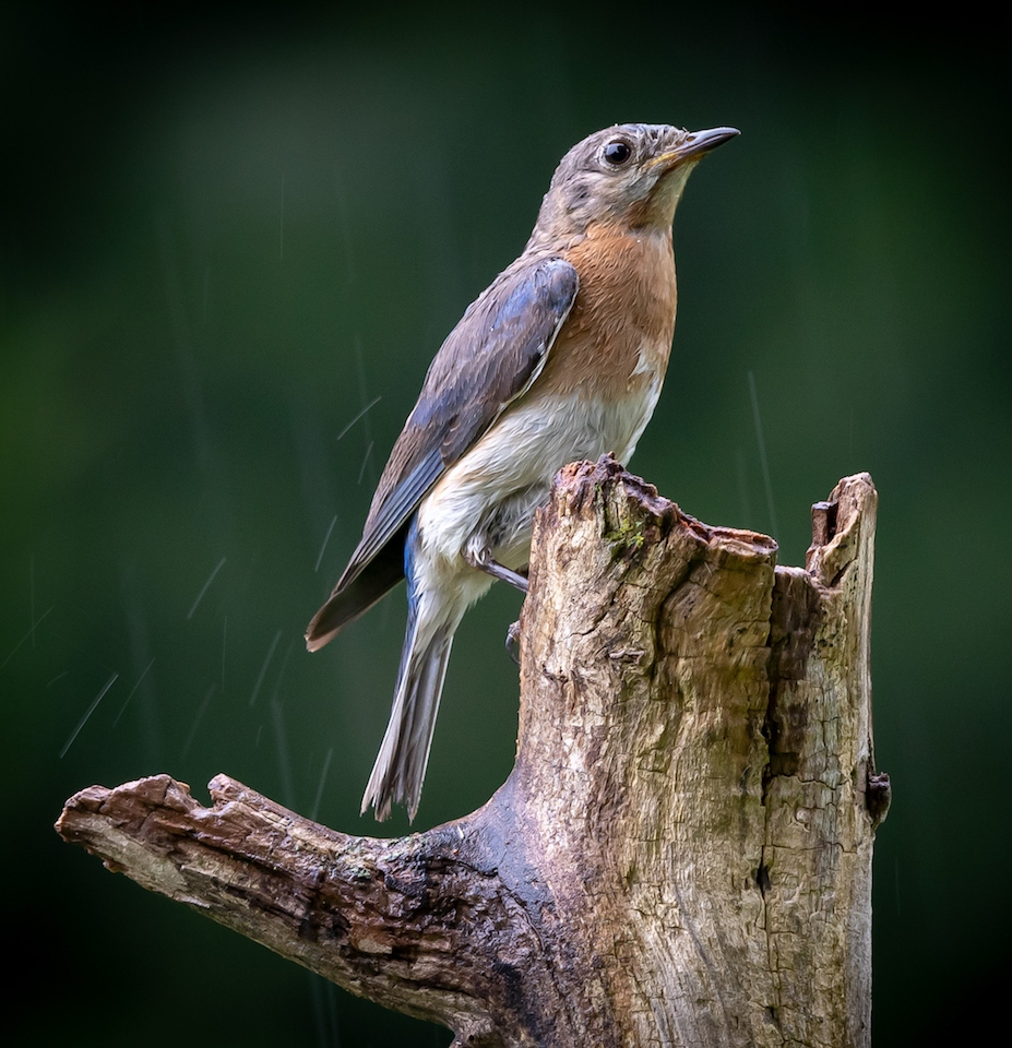 Eastern Bluebird in the Rain - Don Specht - MNPC