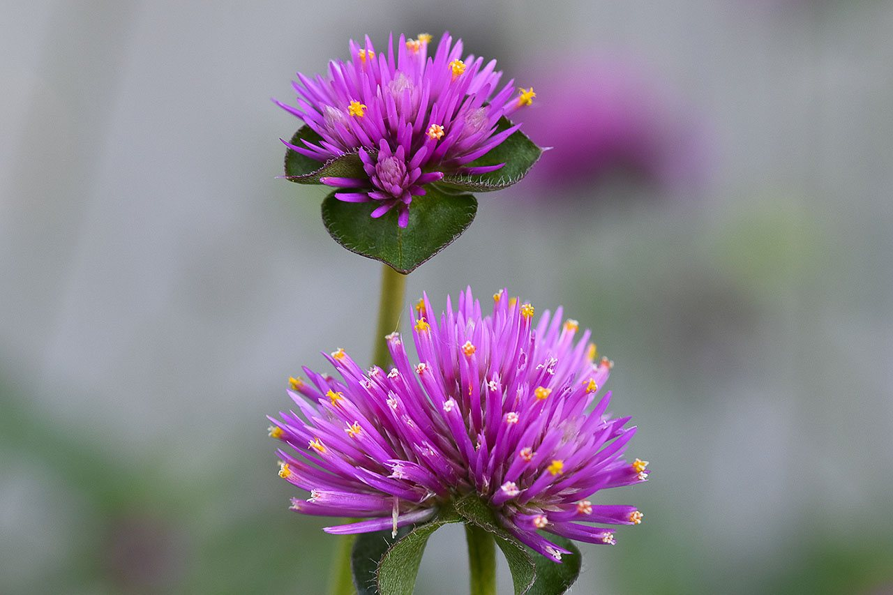 Flower Macro -Jim Allen - SCVCC