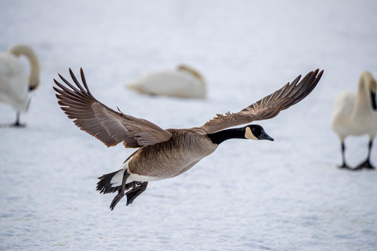 Goose Landing In Swans - Fred Sobottka- WWPC