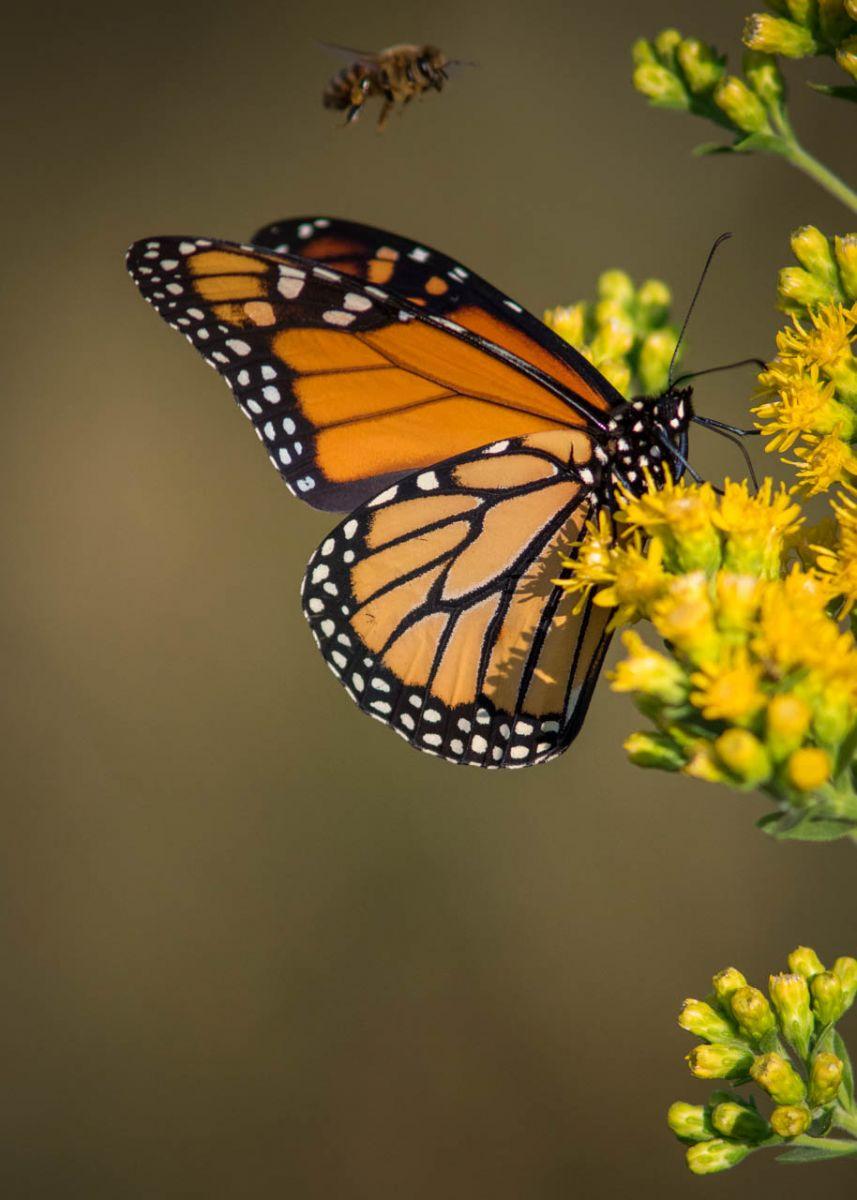 Monarch Butterfly - Michael Waterman - WWPC