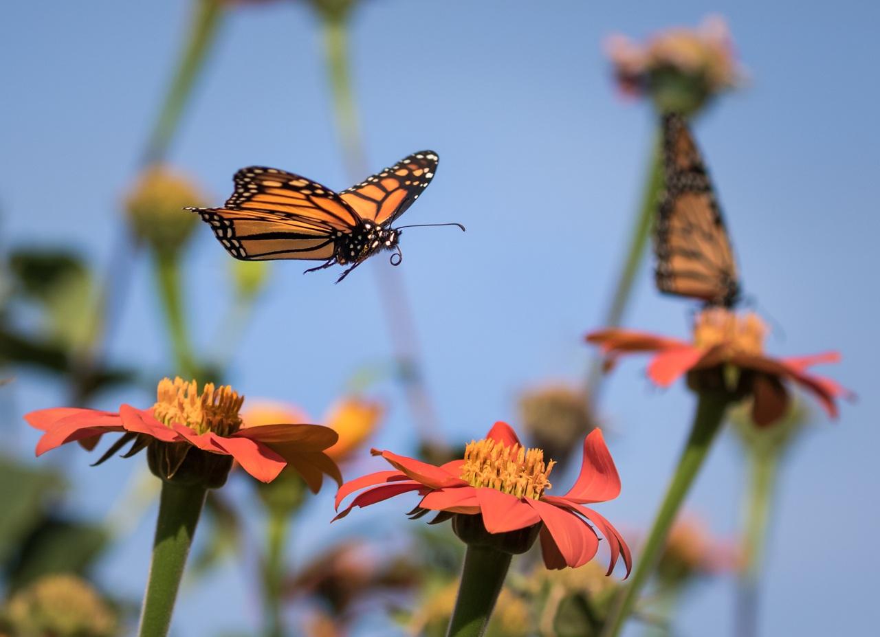 Monarch and Sunflowers - Ken Epstein - SPCC