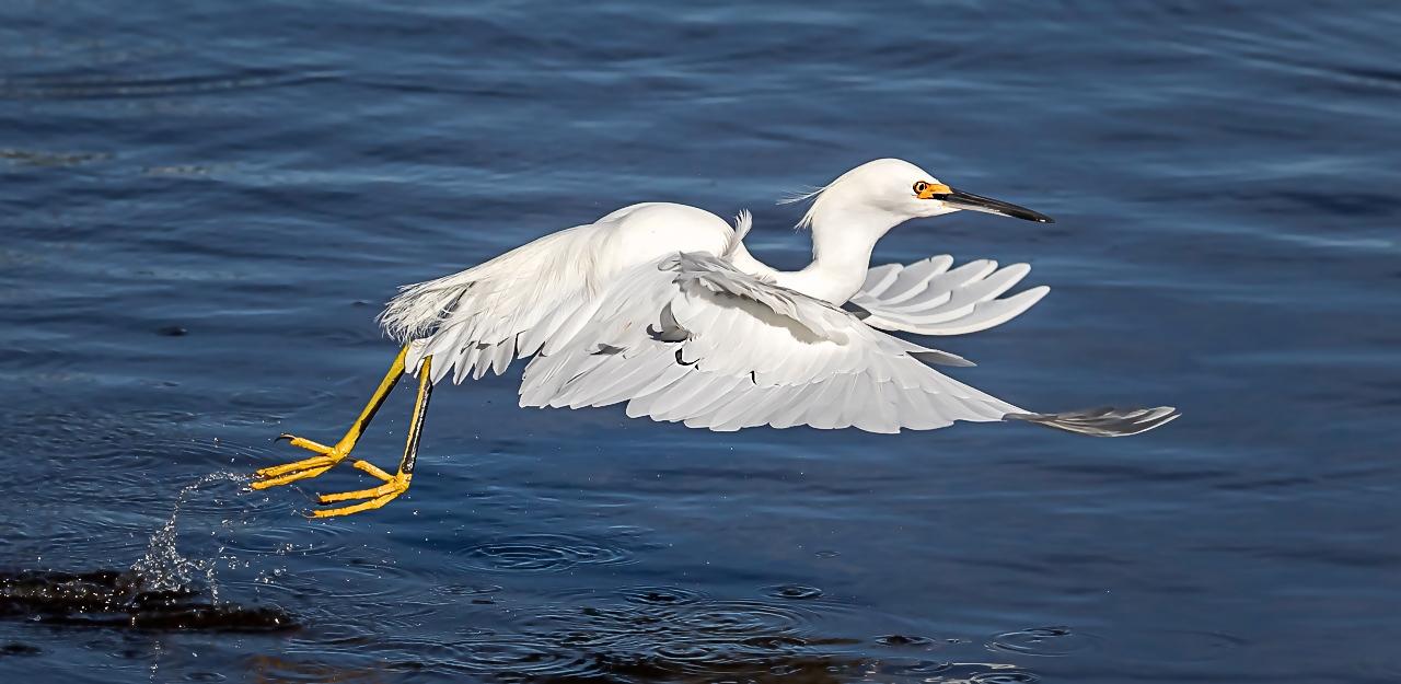 Snowy Egret Takeoff - DonSpecht - MNPC