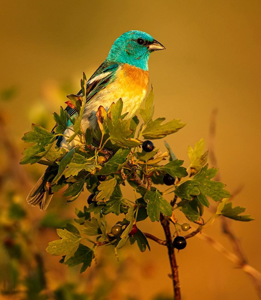 Award - Perturbed Pine Martin - Paul Kammen - Minnesota Nature Photography Club