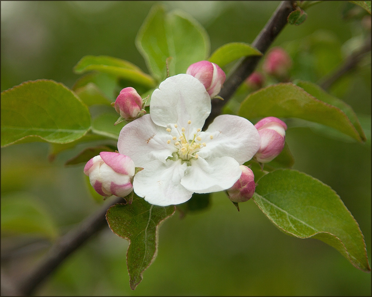 Apple blossom - Shirley Boyer - SCVCC