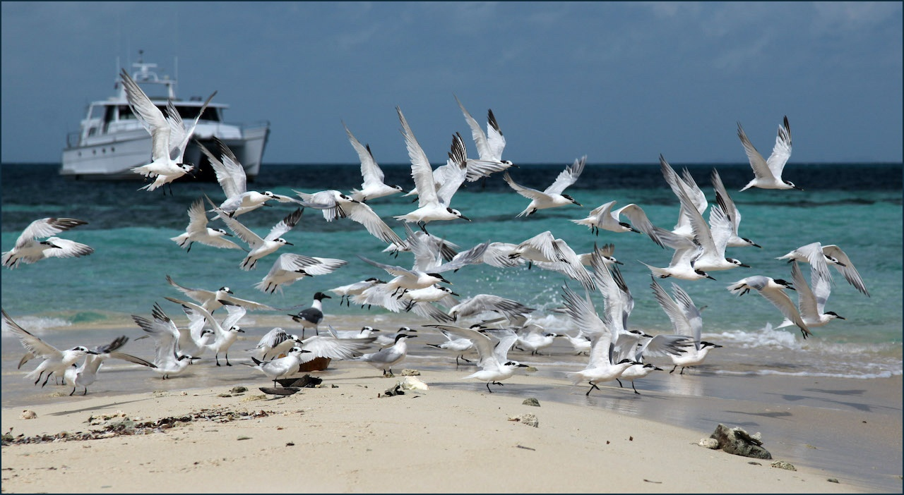 Belize Sandwich Terns- Shirley Boyer - SCVCC