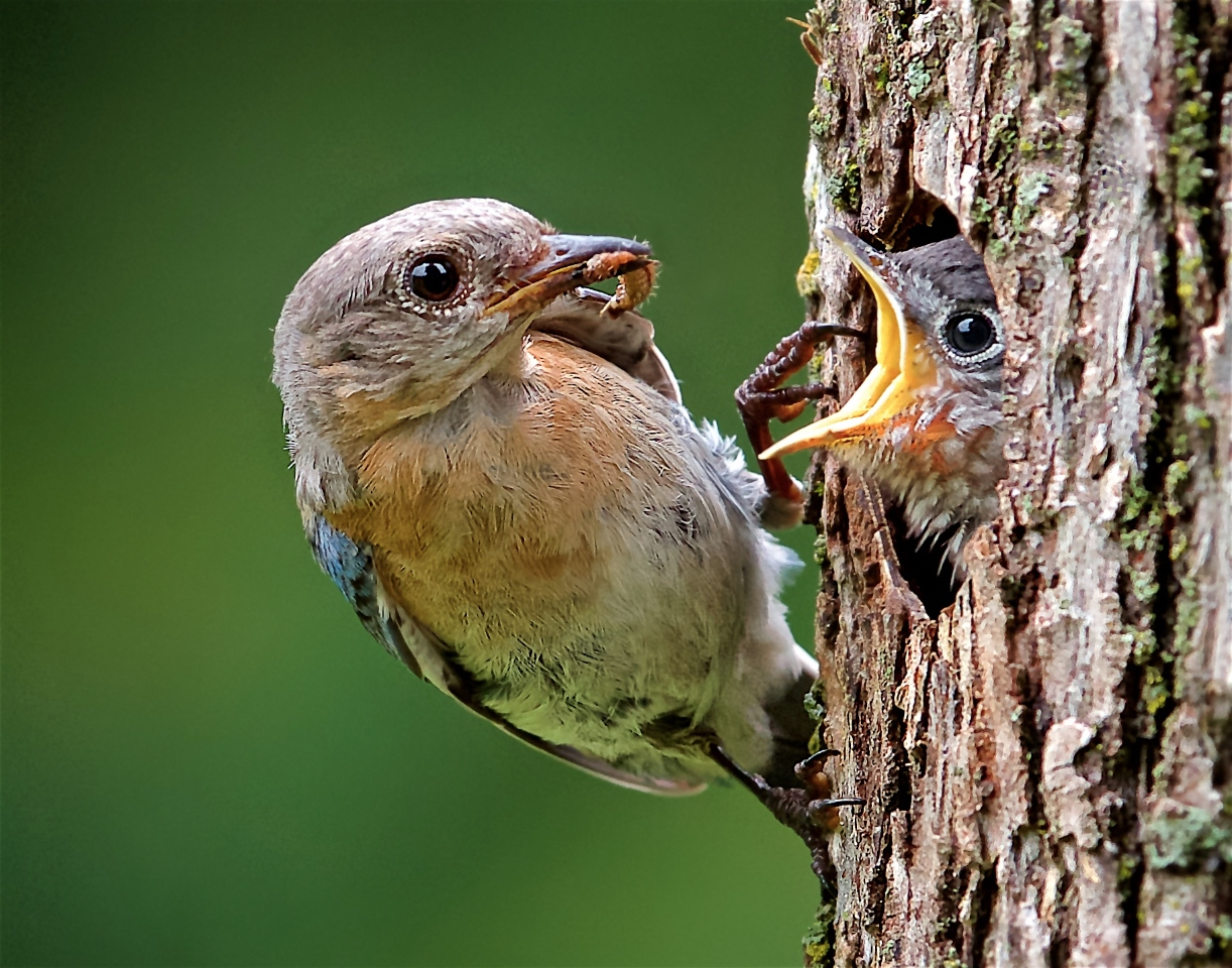 Eastern Bluebird Feeding Nestling - Don Specht - MNPC