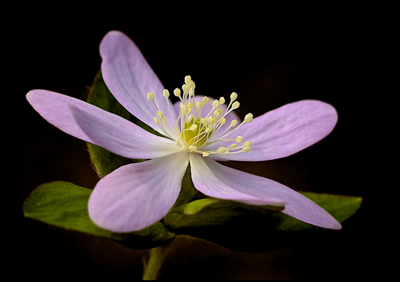 Sharp-Lobed Hepatica - Don Specht - MNPC