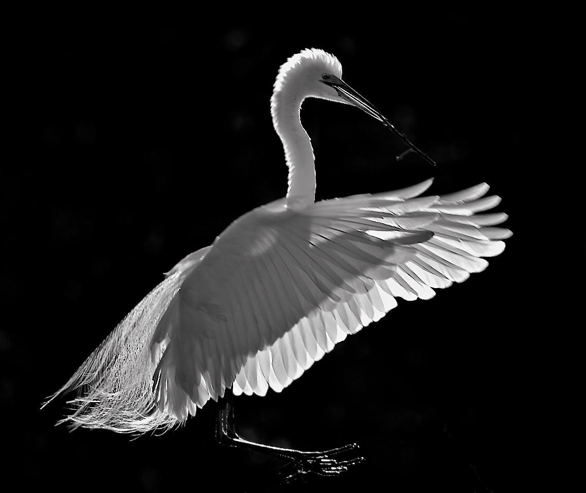 Backlit Snowy Egret - Don Specht - MNPC