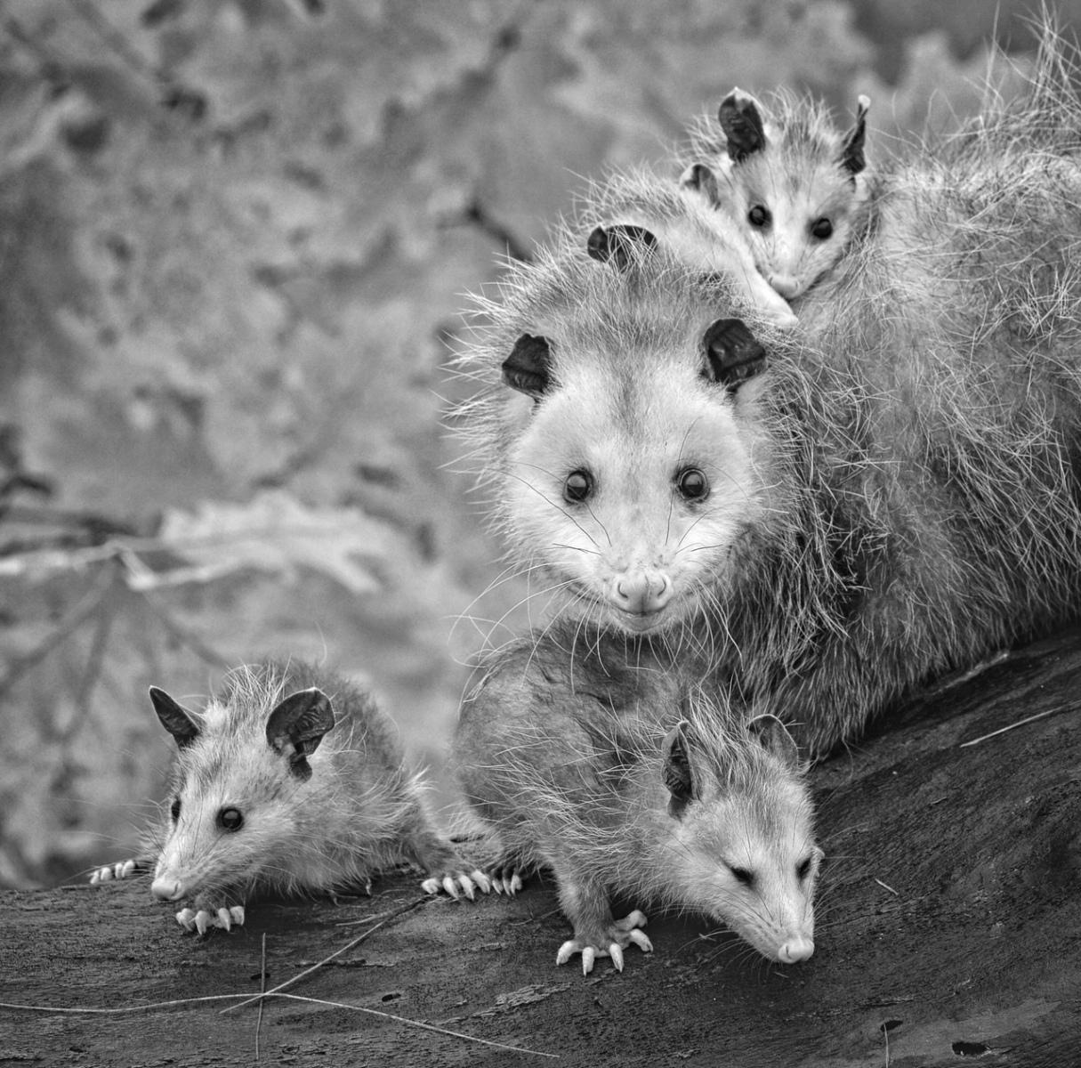 Opossum and Babies - Kathy Wall - NMPC